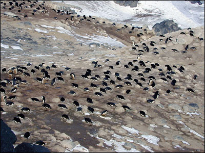 Adelie penguin rookery at Cape Royds