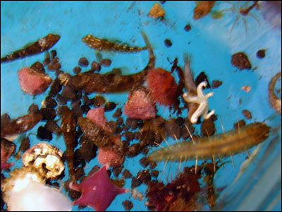 Sea stars and a sea worm (R)