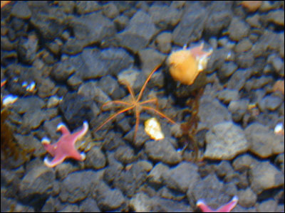 Sea star and sea spider