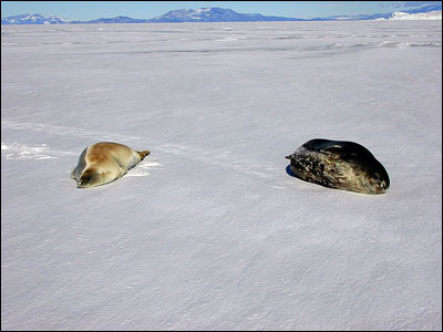 Crabeater seal and Weddell seal