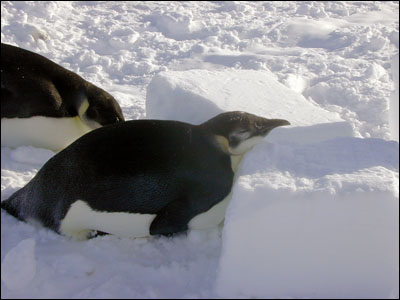 Young emperor penguins
