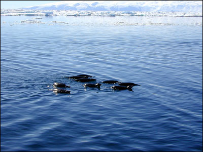 Adelie penguins swimming